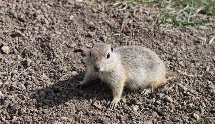 Где и как живет животное суслик? Виды сусликов в России, опасных для огорода: чем они питаются и как выглядят на фото Степное животное суслик