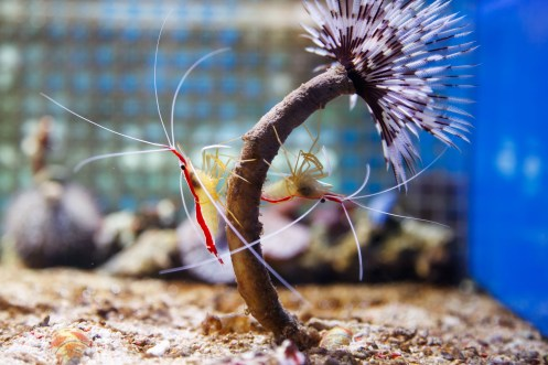 how many shrimp does it take to start a colony? red cherry shrimp