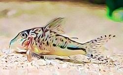 Corydoras Filamentosus