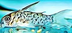Corydoras Loretoensis
