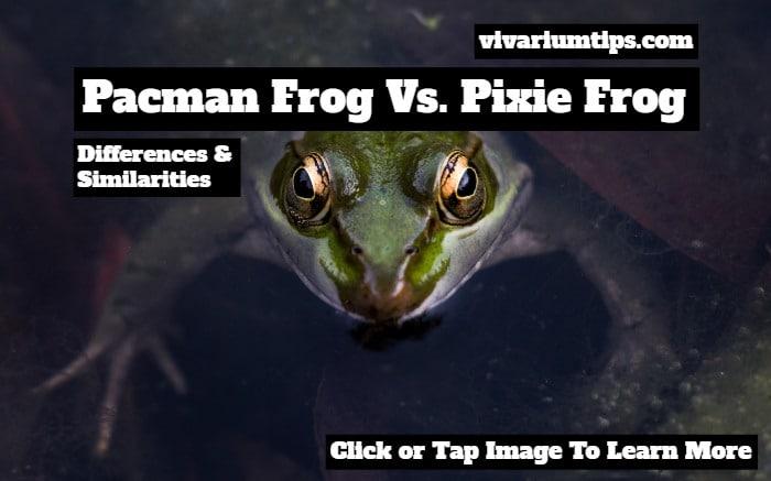 pacman frog vs pixie frog