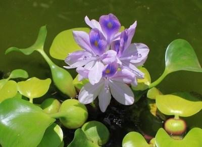 plants safe for fish pond
