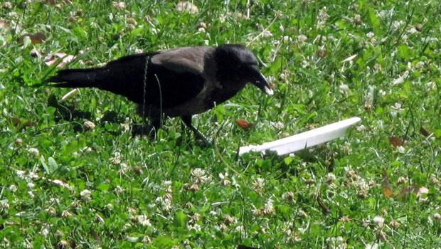 This crow in a park found a plastic plate with some rice left on it.