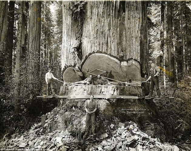 California lumberjacks work on Redwoods.