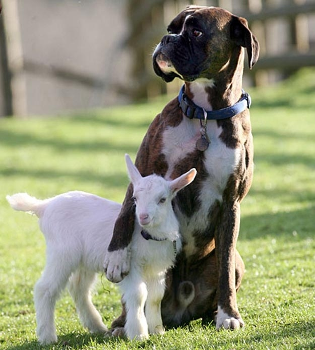 Dog protecting Baby Lamb