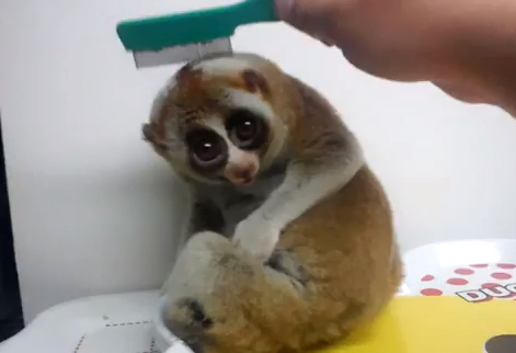 A slow loris getting brushed