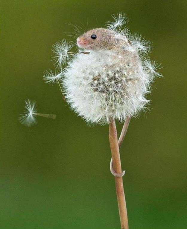 Then there was the mouse who climbed to the summit of a dandelion just because it was there.