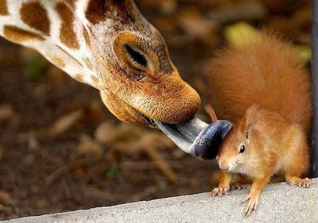 Giraffe cleaning Squirrel