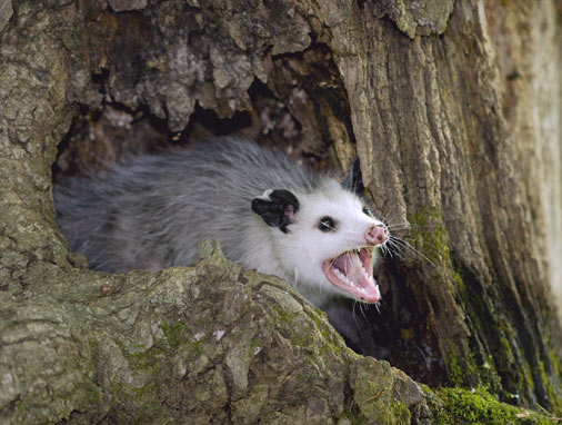 Singing Possum