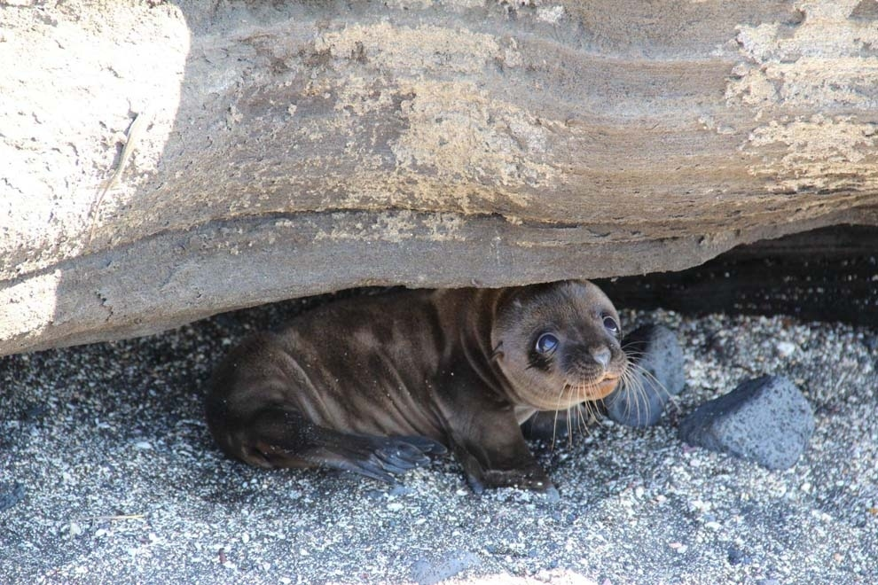 The smiling seal who welcomed a honeymooning couple to the Galapagos.