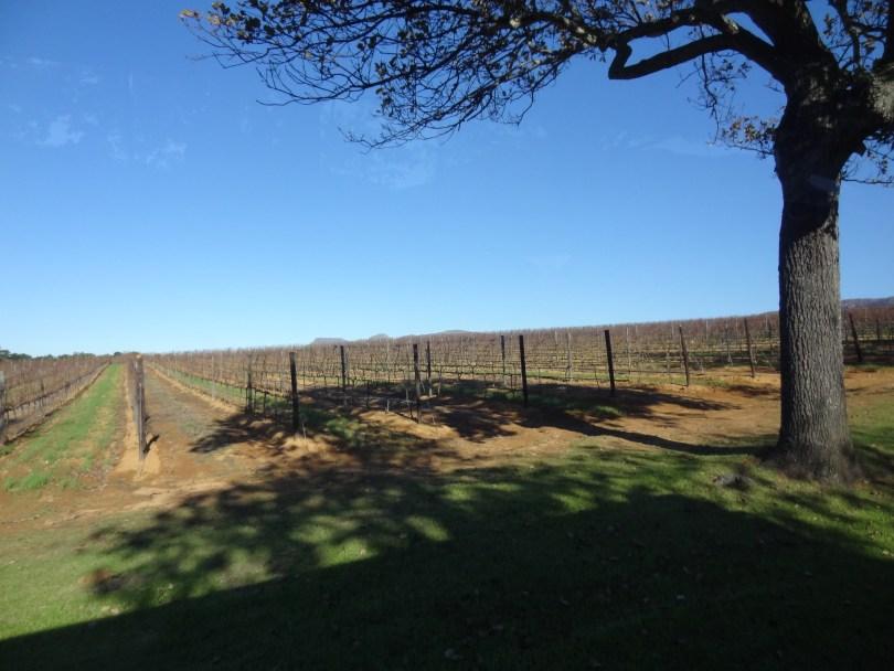 Os campos da vinícola Groot Constantia