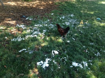A chicken surveys the carnage of the shaving cream fight.
