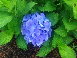 The hydrangea are to die for