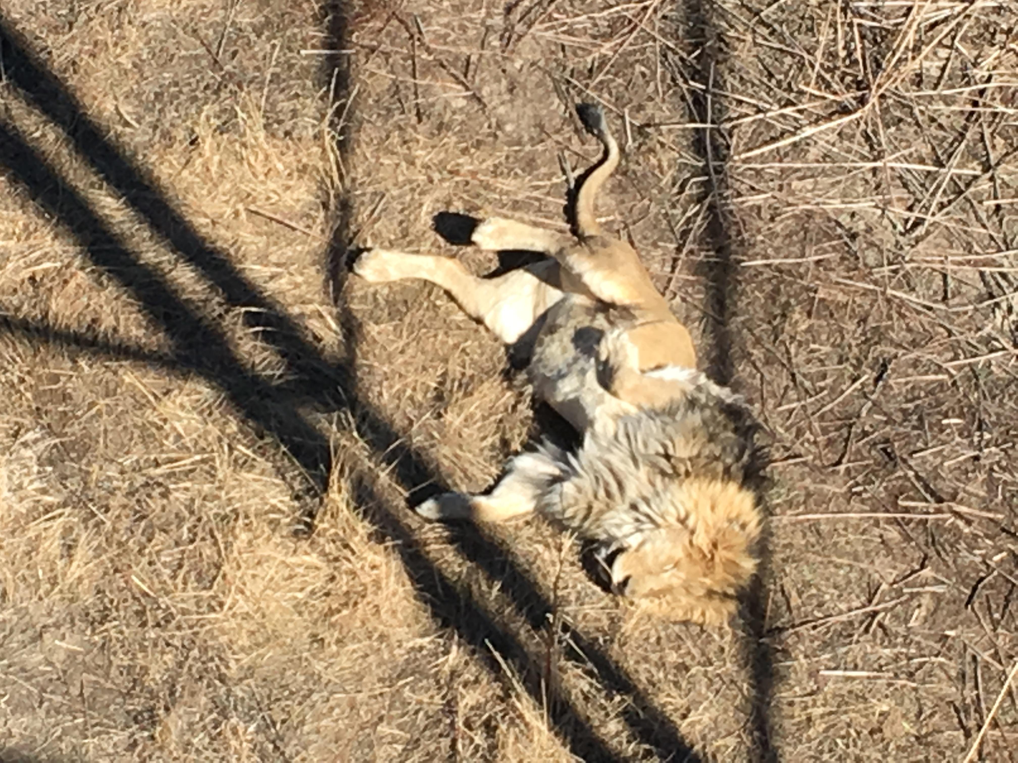 Suuuper slutty lion