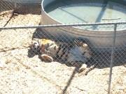 Super slutty tiger