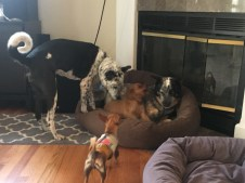 All four dogs mixing it up