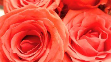 VivBon rosor