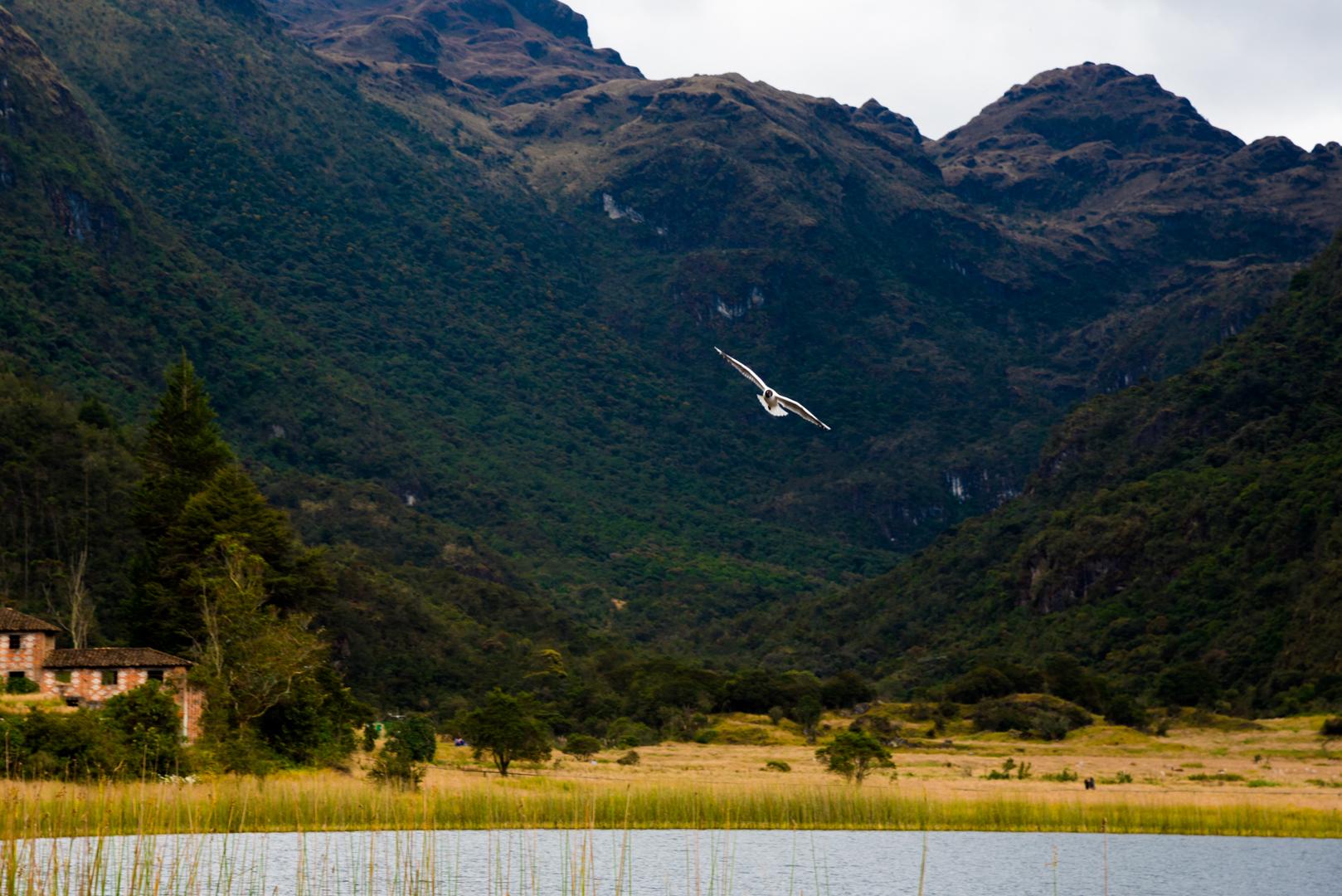 Gaviotas Andinas vuelas sobre la laguna de llaviucu en Parque Nacional EL Cajas y en el fondo montañas.