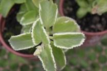 Hortelã-branca (Plectranthus sp.)