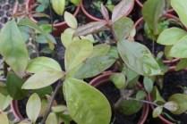 Ora-pro-nóbis (Pereskia aculeata)