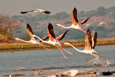 Greater Flamingos breakfree