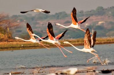 Greater Flamingos breakfree
