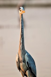 Grey Heron with its neck decoration