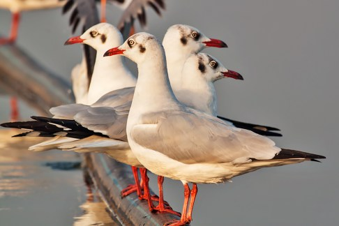 Doves in attention