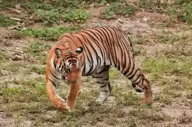 Glaring stare of a tigress