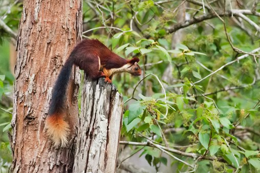 Giant Malabar Red Squirrel