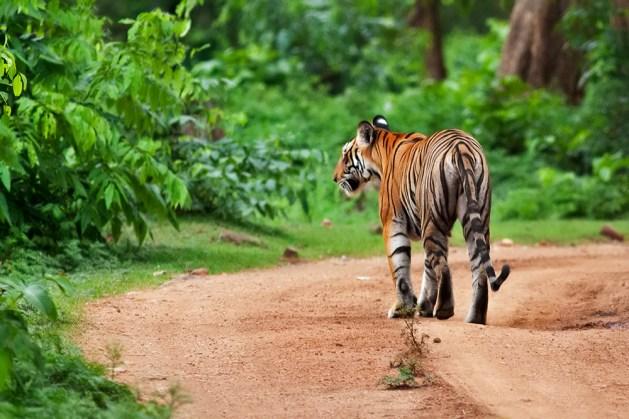 Tigress on the move...everyone hides!