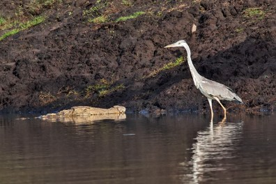 Crocodile with Grey Heron - We are just friends!