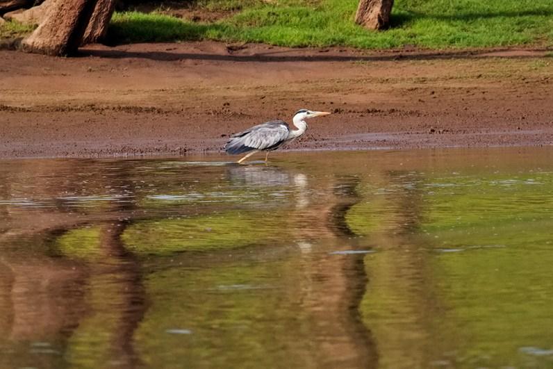 Sub-adult Grey Heron