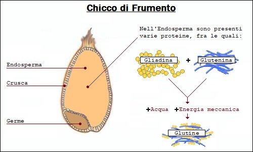 Come si forma il glutine