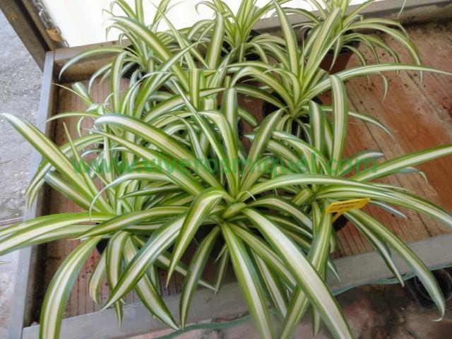 Plantas de interior viveros miquel for Viveros plantas de interior