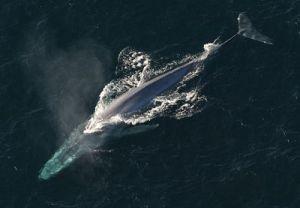 A baleia azul é um símbolo de vida.