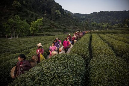 Seasonal workers harvest Longjing (Dragon Well) tea at a plantation in Meijiawu village, Zhejiang province. By Roman Pilipey.