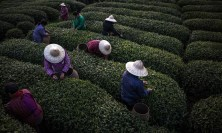According to a legend, tea was first discovered by the Chinese emperor Shennong in 2737 BC. Today China is the world's biggest tea producer, producing 2.43m tonnes last year. The tea industry in China employs around 80 million people as both farmers and pickers, and in sales. By Roman Pilipey.