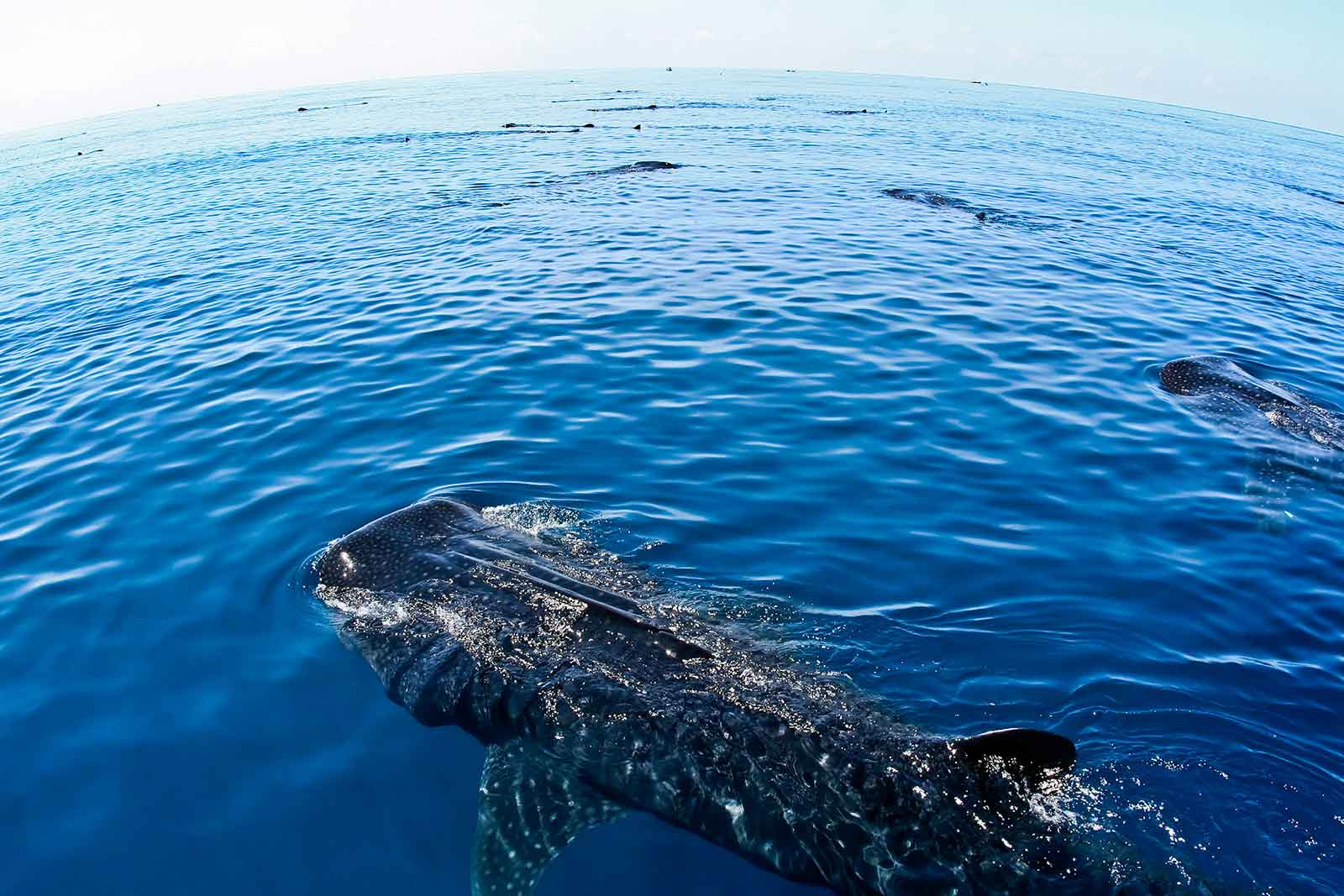 Excursion requins baleines