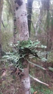 Stewart Island, lichen on Ulva Island