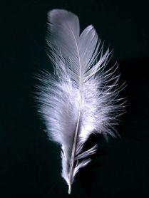 pluma blanca