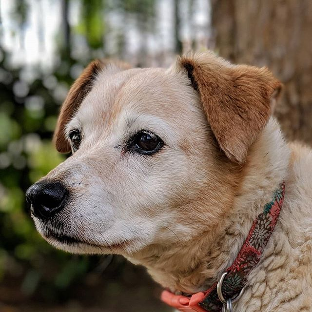 I got Honey the year I graduated college (2004). She was 2 then. I gave her to my sister the year I got deployed (2005); she's been my sister's dog since.  We think she's a Red Heeler/Jack Russell mix. She was extremely agile when young (she once caught a pigeon in mid-air) and is still frisky at 15!  #dog #doggo #shelterdogsofinstagram #shelterdog #rescuedogsofinstagram #rescuedog  #dogsofinstagram #seniordogs #seniordogsofinstagram #petsofinstagram #petphotography #pixel2xlphotography #pixel2xlportrait #pixel2portrait #redheeler #jackrussell