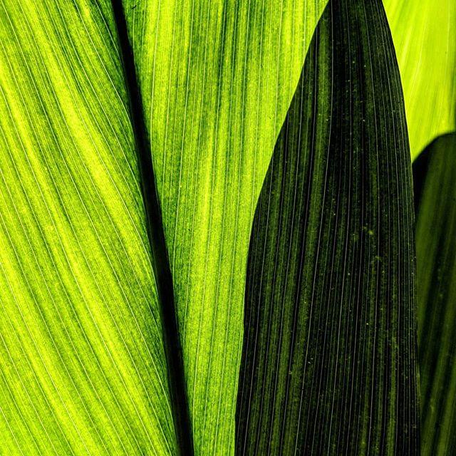 Leaves, shadow, and sunlight.  #naturephotography #nature #leaves #pixel2xlphotography #photographer #amateurphotographer #photography #amateurphotography #closeup #hawaii #waimea #waimeavalley #oahu