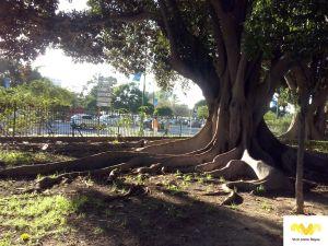 Ficus_macrophylla_árbol_exposición_Marias