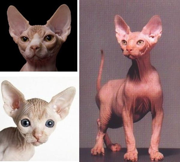 sphynx_cats_2a1