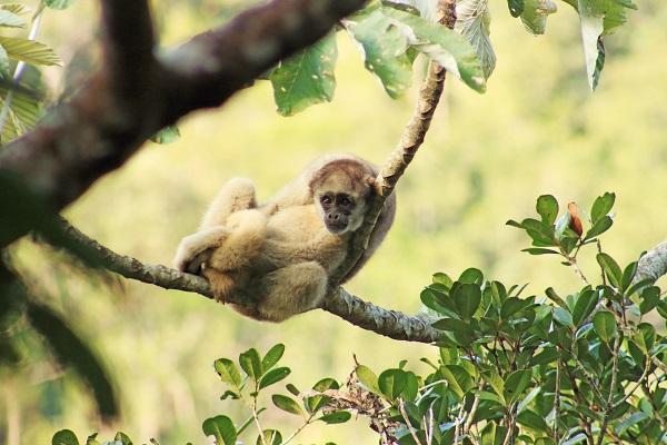 Muriqui-do-norte Foto - Theo Anderson - Acervo Biodiversitas1