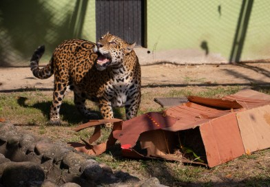 Animais do BioParque do Rio recebem enriquecimento ambiental inspirado na celebração de Natal