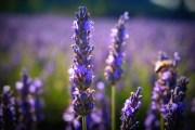 """Một tuần """"cưỡi ngựa xem hoa"""" vùng Provence"""