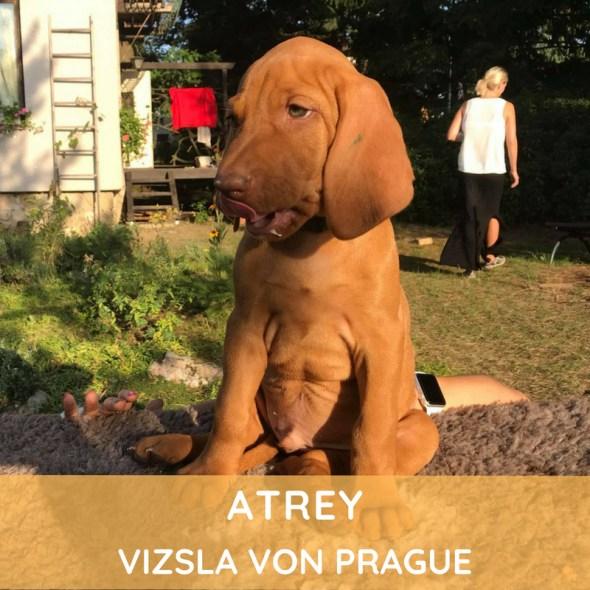 Atrey Vizsla von Prague