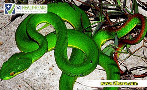 sơ cứu rắn cắn sơ cứu rắn lục cắn  Hướng dẫn sơ cứu khi bị rắn lục đuôi đỏ cắn s   c   u r   n c   n s   c   u r   n l   c c   n